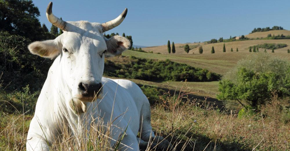 das edle Chianina Rind aus Italien mit herrlichem Fell