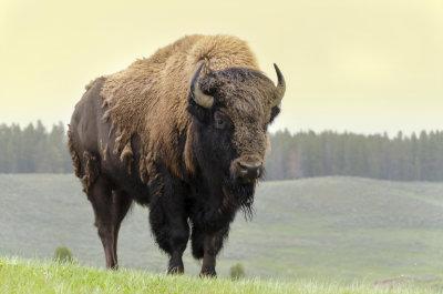 Bisons sind wesentlich kleiner als Chianina Rinder