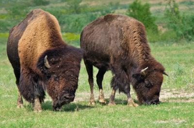 Bisons können bis zu 65 km/h rennen.