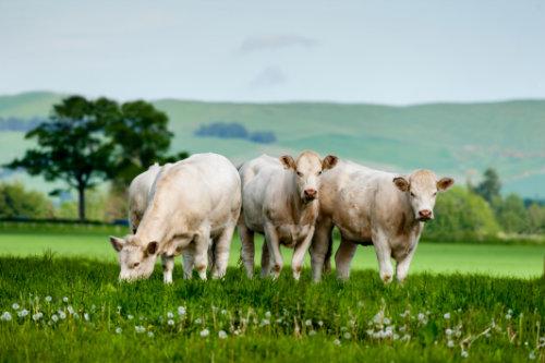 Charolais Rinder gesellen sich idyllisch zum Fressen
