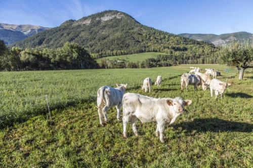 Eine Herde von Charolais Rindern grasen an einem schönen Hügel