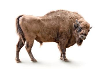 Bison auf weißem Hintergrund